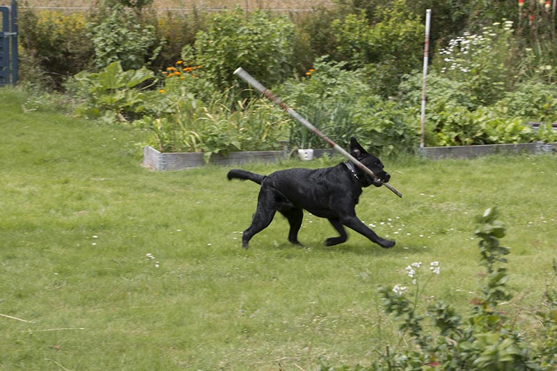 trust a lab to be a stick connoiseur